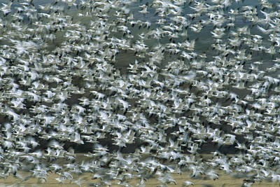 Snow Geese Flying Bosque Del Apache Art Print by Tom Vezo