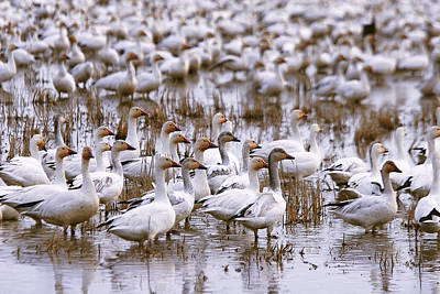 Photograph - Snow Geese In A Rice Field by Robert Woodward
