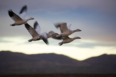 Snow Geese In Flight Print by Panoramic Images