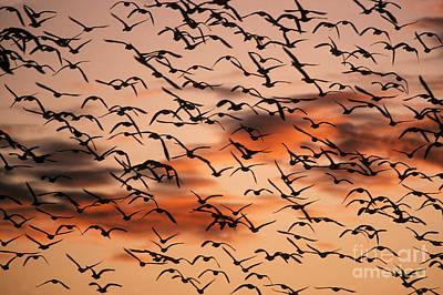 Snow Geese In Flight Art Print by Ron Sanford