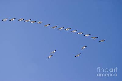 Snow Geese In Flight Art Print