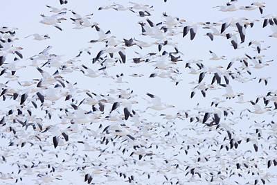 Snow Geese Art Print