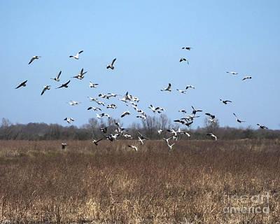 Photograph - Snow Geese Lacassine  Nwrfields by Lizi Beard-Ward