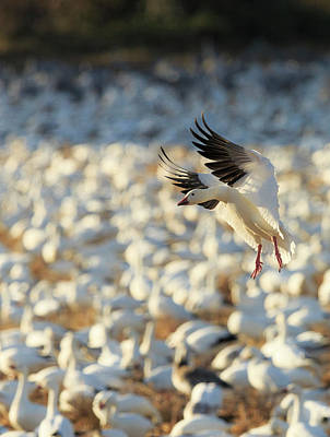 Gaggle Photograph - Snow Geese Landing In Corn Fields, Chen by Maresa Pryor
