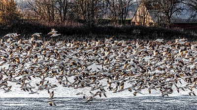 Photograph - Snow Geese Mass Ascension by Wes and Dotty Weber