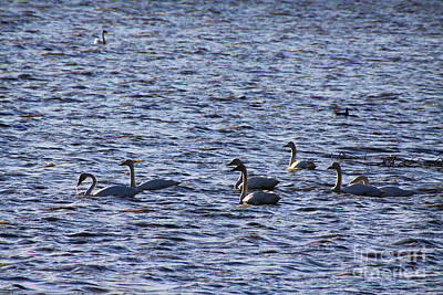 Photograph - Snow Geese Migration by Alyce Taylor