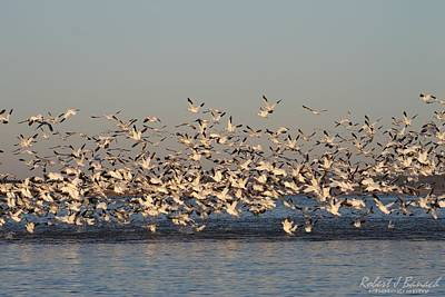 Photograph - Snow Geese Over Little Assawoman Bay by Robert Banach