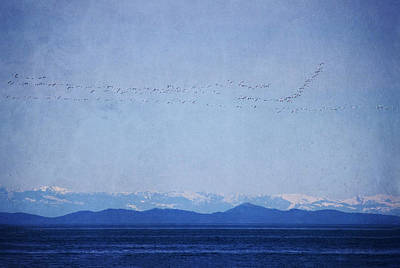 Art Print featuring the photograph Snow Geese Over The Ocean by Peggy Collins