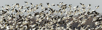 Photograph - Snow Geese Pano by James Barber