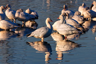 Photograph - Snow Geese Reflections by Kathleen Bishop