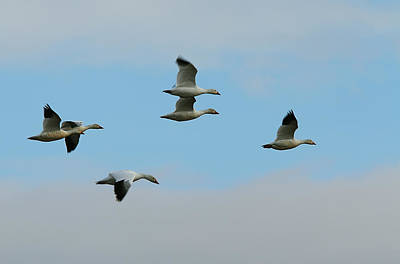 Photograph - Snow Geese by Robert Woodward
