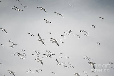 Snow Geese Sky Art Print by Andrea Hazel Ihlefeld