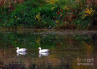 Photograph - Snow Geese Swim by Elizabeth Winter