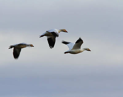Photograph - Snow Geese Trio by Robert Woodward