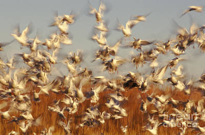 Snow Geese Winter Migration Art Print by Ron Sanford