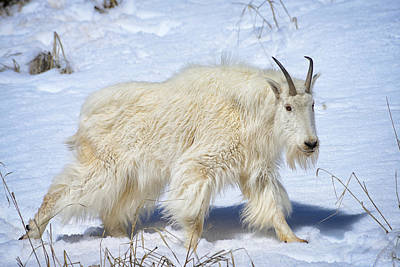 Photograph - Snow Goat Limited Edition by Greg Norrell