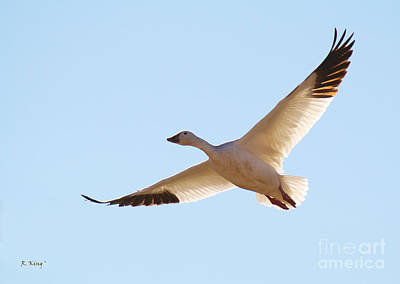 Photograph - Snow Goose 1 by Roena King