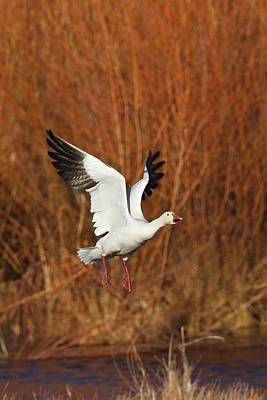 Snow Goose (chen Caerulescens Art Print by Larry Ditto