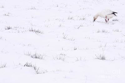 Snow Goose During Migration Art Print by Jim Corwin