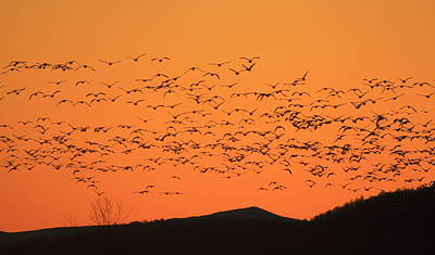 Photograph - Snow Goose Flock At Dawn by John Burk