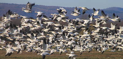 Photograph - Snow Goose Flock Flying by John Burk