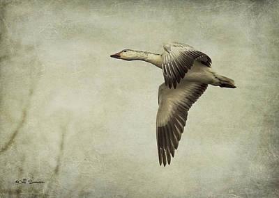 Snow Goose In Flight Art Print