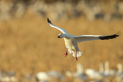 Gaggle Photograph - Snow Goose Landing In Corn Fields, Chen by Maresa Pryor