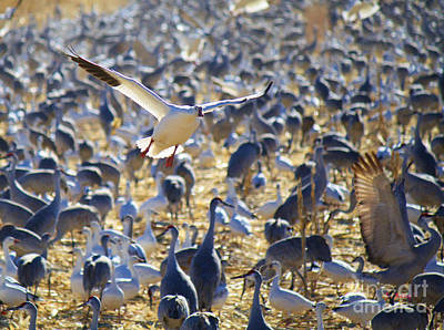 Photograph - Snow Goose Landing by Roena King