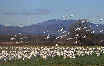 Photograph - Snow Goose Migration Dead Creek Vermont by John Burk