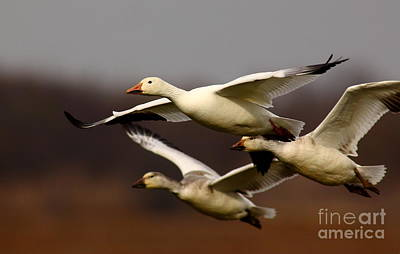 Snow Goose Formation Migration Art Print by Robert Frederick