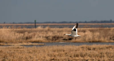 Photograph - Snow Goose Over The Marsh by Kristia Adams
