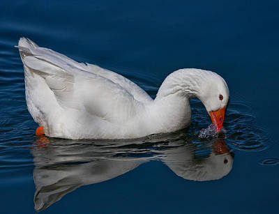 Photograph - Snow Goose Reflected by John Haldane