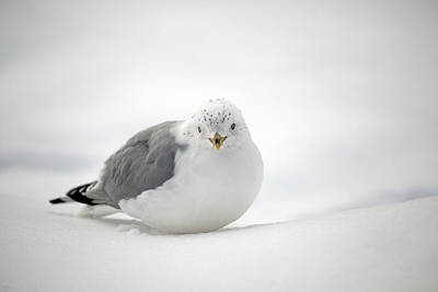 Snowstorm Photograph - Snow Gull by Karol Livote