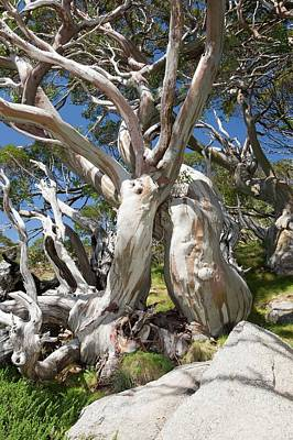 Snowy Mountain Photograph - Snow Gum Trees In The Snowy Mountains by Ashley Cooper