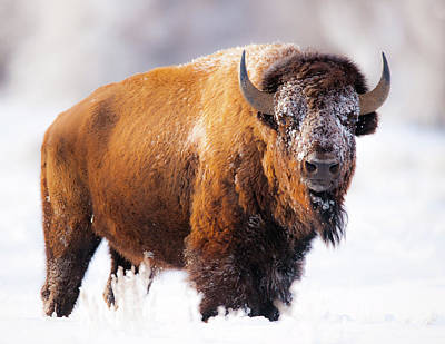 Bison Photograph - Snow King by Gary Crandall