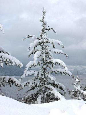 Photograph - Snow Laden Tree by Leone Lund