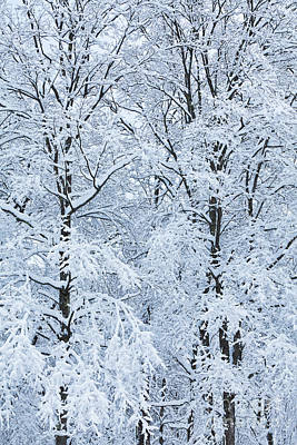 Photograph - Snow Laden Trees by Alan L Graham