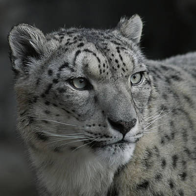 Photograph - Snow Leopard 15 by Ernie Echols