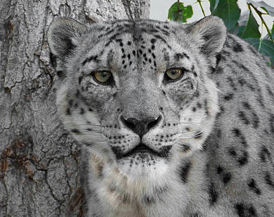 Photograph - Snow Leopard 5 by Ernie Echols