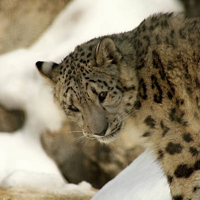 Snow Cat Photograph - Snow Leopard by Art Block Collections