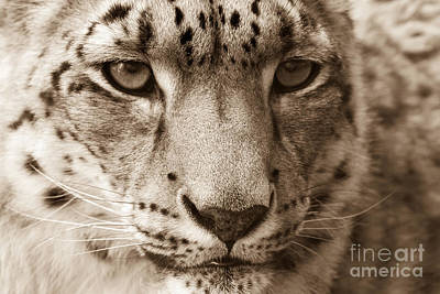 Photograph - Snow Leopard by Chris Scroggins