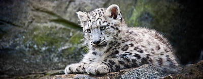 Photograph - Snow Leopard Cub by Chris Boulton