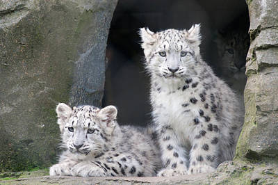 Snow Leopard Cubs Art Print by Chris Boulton