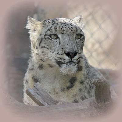 Photograph - Snow Leopard Curious by Diane Alexander