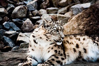 Snow Leopard Art Print by Daniel Precht