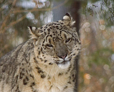 Digital Art - Snow Leopard by Ernie Echols