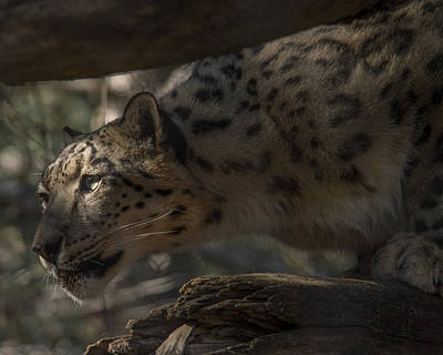 Photograph - Snow Leopard Hunting by Ernie Echols