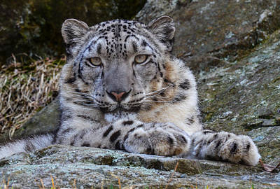 Photograph - Snow Leopard by Michael Hubley