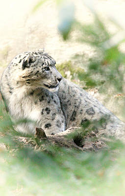 Photograph - Snow Leopard Pose by Karol Livote