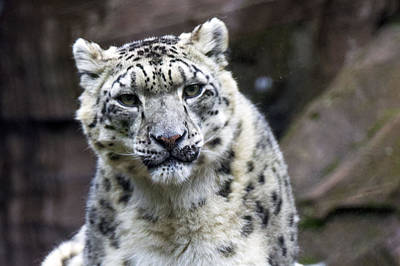 Photograph - Snow Leopard by Saya Studios